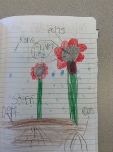 First graders observed and explored plants in the classroom and then drew a model of it to deepen their understanding of structure, function and plant parts.
